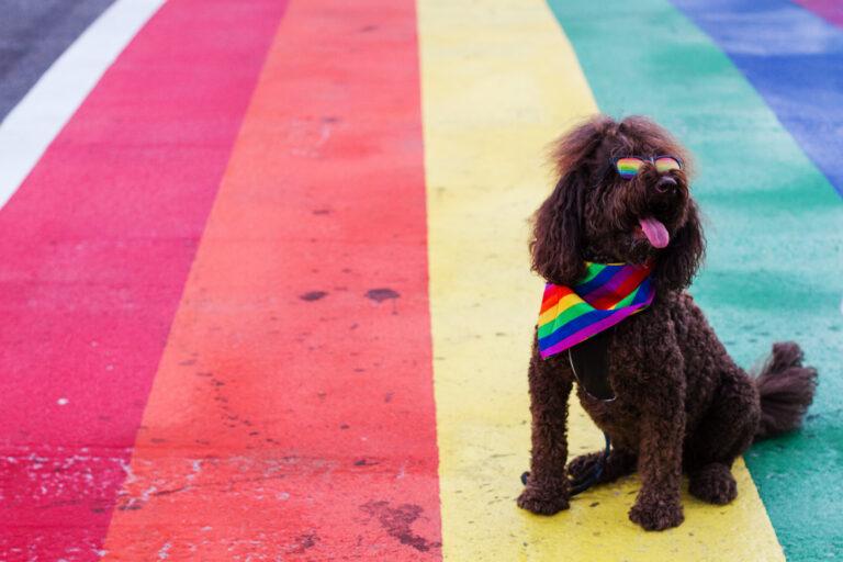 Pride Poodle by Adam Cohn