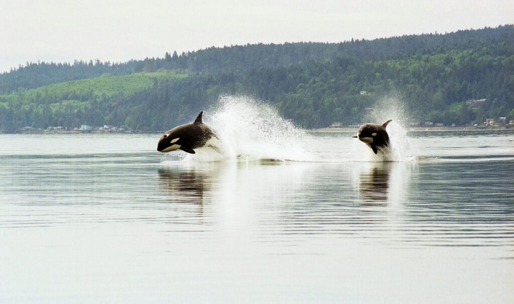 Orcas in the San Juan Islands
