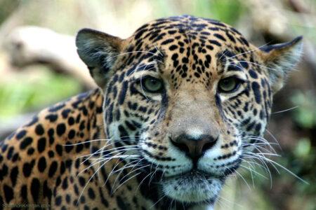 Jaguar at the Woodland Park Zoo