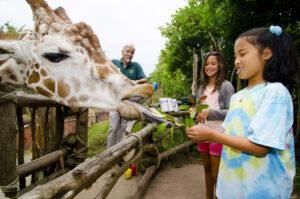 Giraffe Feeding 4 Ryan Hawk