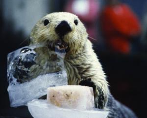 Seattle-Aquarium-Otter
