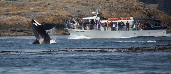 San Juan Safaris Whale Watching & Wildlife Tours